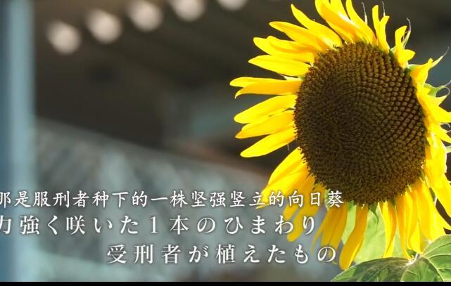 服刑者种下的向日葵