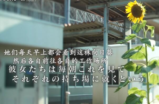 每天都会看到向日葵去工作。