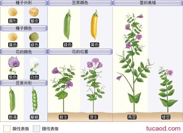 豌豆性状的变化与生物波澜壮阔的进化之间具有内在关联