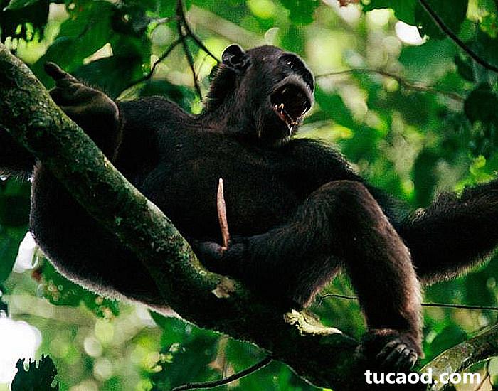 黑猩猩大猩猩阴茎都是针形的