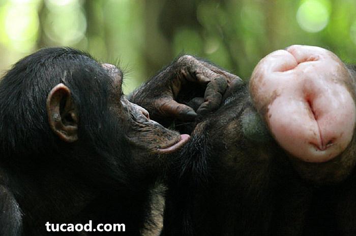 雌黑猩猩红屁股