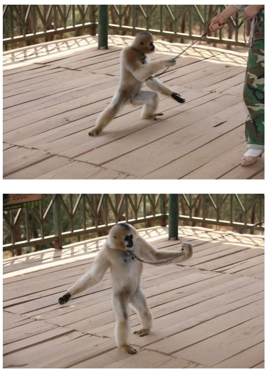 长臂猿走钢索-戊己真人